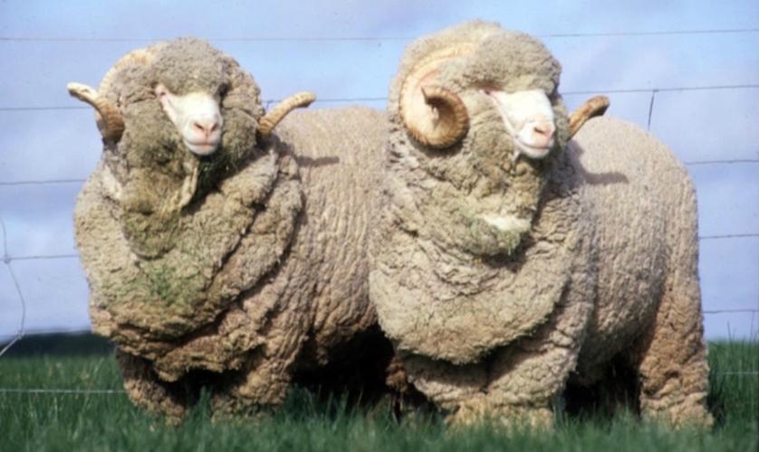 Plaids en laine merinos moutons