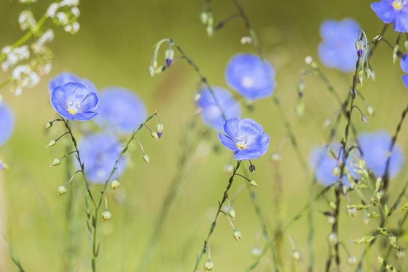 Fleure de Lin - Matière Naturelle